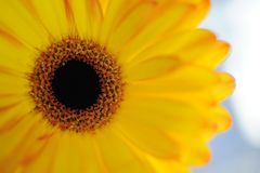A close-up view of a gerbera flower. Gerbera is very popular and widely used as a decorative garden plant or as cut flowers. Gerbera bear a large capitulum with royalty free stock image