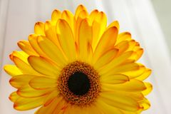 A close-up view of a Gerbera flower. Gerbera is very popular and widely used as a decorative garden plant or as cut flowers. Gerbera bear a large capitulum with stock images