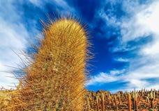 Close-up view of a giant cacti at at Isla Incahuasi in Salar de Uyuni stock photos