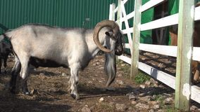 Close up view of goats grazing in corral with wooden fence at farm stock video footage
