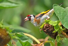 Close up and detailed view of a goldfinch sits on the sunflower head Royalty Free Stock Images