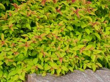 Close Up View of Goldflame Spirea Landscaping Shrub royalty free stock images