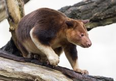 Close up view of a Goodfellow`s tree-kangaroo Royalty Free Stock Photos
