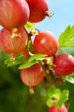Close up view of gooseberries. Close up view of red ripe gooseberries on the bush in the Home Garden Stock Images