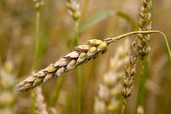 Close up view of the grain ears Stock Image
