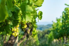 Close up of grapes in a cultivated vineyard in a hilly Zagorje region in Croatia, Europe, during a summer or autumn day. Close up view of grapes in a cultivated royalty free stock photo