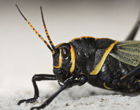A Close Up View of a Grasshopper Royalty Free Stock Photos
