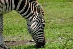 Grazing Zebra At Pasture. Close-up view of the grazing Zebra at pasture royalty free stock photos
