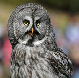 Close-up view of a Great Grey Owl. Strix nebulosa Royalty Free Stock Images