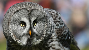 Close-up view of a Great Grey Owl 02 Stock Image