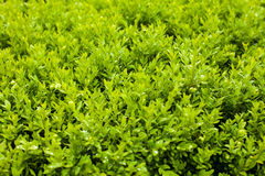 Close-up view of green bush Royalty Free Stock Photo