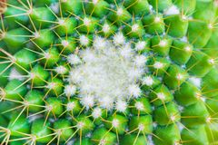 A green cactus mammillaria as background, texture stock photos