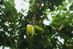 Close-up view of green carambola fruit growing on tree, Hoi. An, Vietnam Stock Images