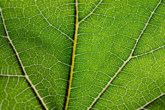 Close up view of green leaf and veins Stock Photography