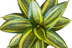 Close up green plant leaves. Close up view of green leaves spiral Royalty Free Stock Images