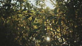 Close-up view of the green leaves in the tree. Beautiful fresh forest background in bright day. Sun rays shining through the leaves, foliage stock footage