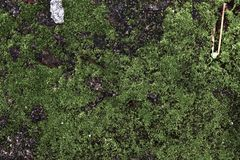 Close up view on green moss on a forest ground at springtime royalty free stock photography
