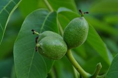 Close up view of green nuts. Royalty Free Stock Images