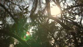 Close up view of green Olive branch tree with rays of sun in the background stock video footage