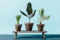 Close up view of green plants in flowerpots on wooden decorative bench. Isolated on blue royalty free stock image