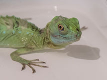 Close-up view of a green Plumed basilisk Basiliscus plumifrons Royalty Free Stock Photography