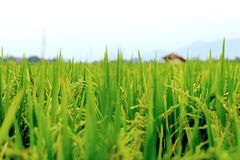 Close Up View Of green Rice Plants. With white background and blurry hut Stock Images
