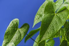 Close up view of green tropical leaves with water drops. Isolated on blue background royalty free stock images