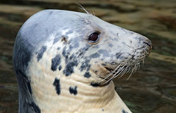 Close-up view of a Grey seal (Halichoerus grypus) Royalty Free Stock Image