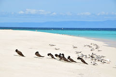 Close up view of group of Brown Booby & Crested Tern birds at Michaelmas Cay with beautiful fine white sand & turquoise blue water royalty free stock photos