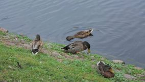Close up view of group of ducks near river. Birds concept. Beautiful nature backgrounds stock footage