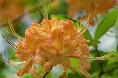 Close-up View of a Group of Orange Flame Azalea Flowers – Rhododendron calendulaceum royalty free stock image