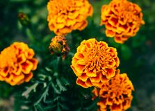 A close-up view of a group of orange Mexican Marigolds stock photos