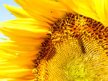 Close-up view of a half of sunflower with blue sky background. Close-up view of a sunflower Stock Photo