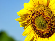 Close-up view of a half of sunflower with blue sky background. Close-up view of a sunflower Stock Photography