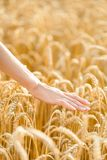 Close up view of hand over field of rye Royalty Free Stock Images