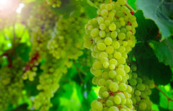 Close up view of hanging grapes Royalty Free Stock Photos