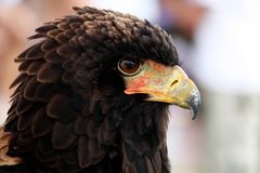Bateleur eagle. Close up view of the head of a bateleur eagle stock photography