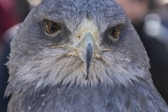 Close-up view of the head of a blue eagle used in falconry. Close-up view of the face of an eagle royalty free stock images