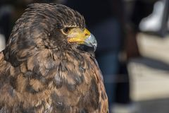 Close-up view of the head of a falconry eagle. Falconry eagle with his eyes covered in his resting place royalty free stock photo
