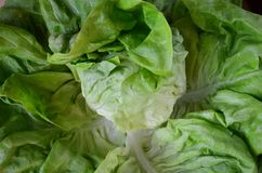 Close up view of head of fresh lettuce royalty free stock photo