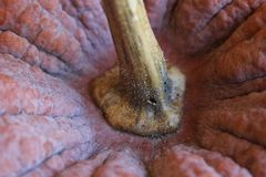 Close up view of an heirloom winter squash. Top part of an heirloom winter squash - close up view stock images