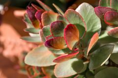 Close up view of a Houseleek plantSempervivum tectorum Stock Photos