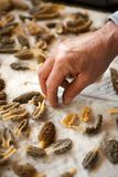 Close up view of human hand cleaning morels. Close up view of human hand cleaning and cutting morel mushrooms Stock Images