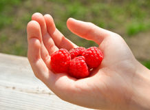 Close up view of human hand holding ripe raspberries. Stock Image