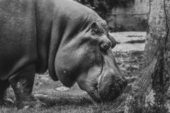 Close up view of a Hypo Hippopotamidae royalty free stock photography