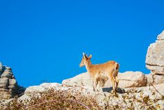 Close-up view Iberian ibex, Spanish wild goat, standing at the t. Op of big stone in the mountains in the warm evening sunlight, El Torcal natural park Stock Photo