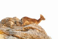 Close-up view Iberian ibex, Spanish wild goat, standing at the t. Op of big stone in the mountains in the warm evening sunlight, El Torcal natural park Royalty Free Stock Image