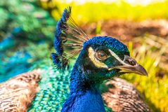 Close up view of The Indian peafowl or blue peafowl Pavo cristatus royalty free stock image