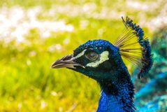 Close up view of The Indian peafowl or blue peafowl Pavo cristatus stock photos