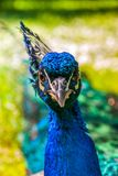 Close up view of The Indian peafowl or blue peafowl Pavo cristatus royalty free stock images